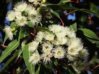Shea Butter + Eucalyptus Olie Natuurlijke Zeep