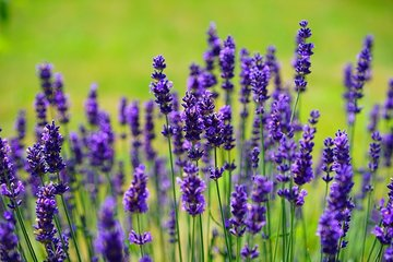 Lavendelolie - Etherische Olie