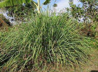 Citroengras, Lemongrass Olie - Etherische Olie