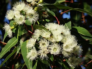 Eucalyptus Olie - Etherische Olie