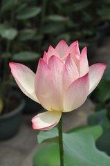 Lotus Olie - Etherische Olie