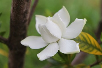 Gardenia Olie - Etherische Olie Kaapse Jasmijn