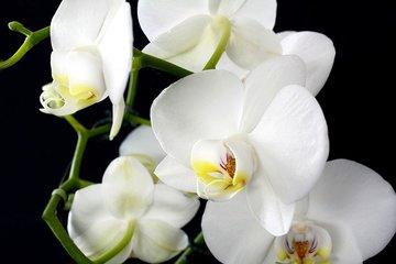 Orchidee Olie - Etherische Olie
