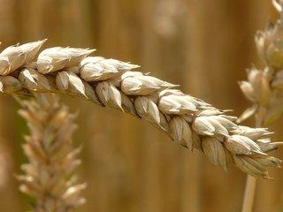 Tarwekiemolie - Gezicht, Huid en Haar