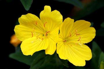 Teunisbloemolie | Gezicht & Huidverzorging
