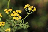 Helichrysum strobloem olie