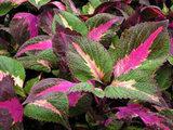 perilla plant