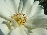 witte camellia