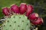 Cactusvijg