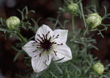 nigella sative