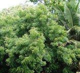 neemboom