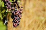 Druiven pit olie