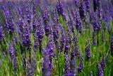 lavendel bloemen voor olie