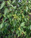 witte cederhout boom bes