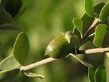 jojoba vrucht