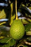 avocado boom