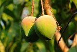 mango aan boom