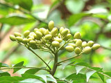 Neem tree nuts