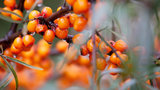 Sea Buckthorn 50ml