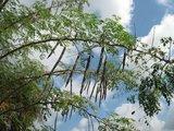 moringa plant