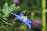 borage plant