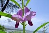 sesam bloem