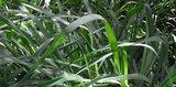 Cymbopogon winterianus gras