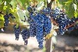 druivenpitolie koudgeperst
