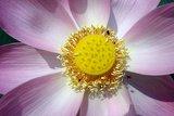 Lotusbloemolie