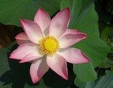 lotusbloem olie