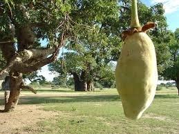 Baobab Olie Puur Literfles