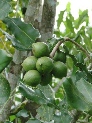 Macadamia Olie Puur Literfles