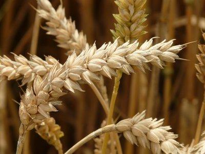 Tarwekiemolie Puur Liter | Voordeel
