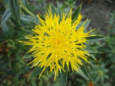 Saffloerolie - Distelolie Puur Liter