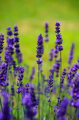 Lavendelolie 10ml Druppelfles - Etherische Olie
