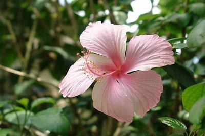 Hibiscus Poeder 100% Zuiver 1kg