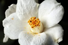 Witte Japonica